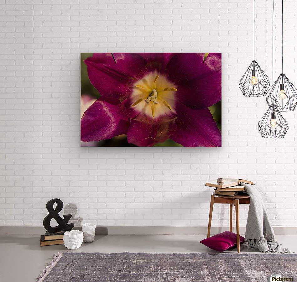Red tulip, Andre Rieu (tulipa), New York Botanical Garden; New York City, New York, United States of America  Wood print