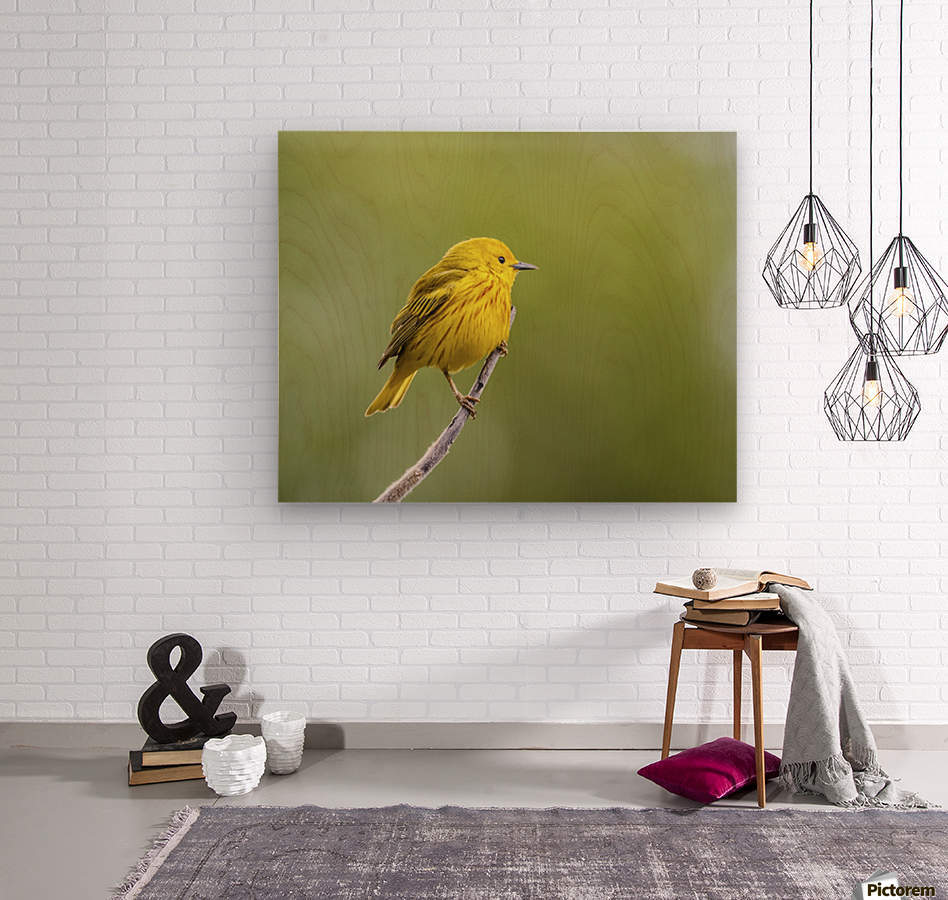 Yellow warbler (Setophaga petechia) perched during spring time; Chateauguay, Quebec, Canada  Wood print