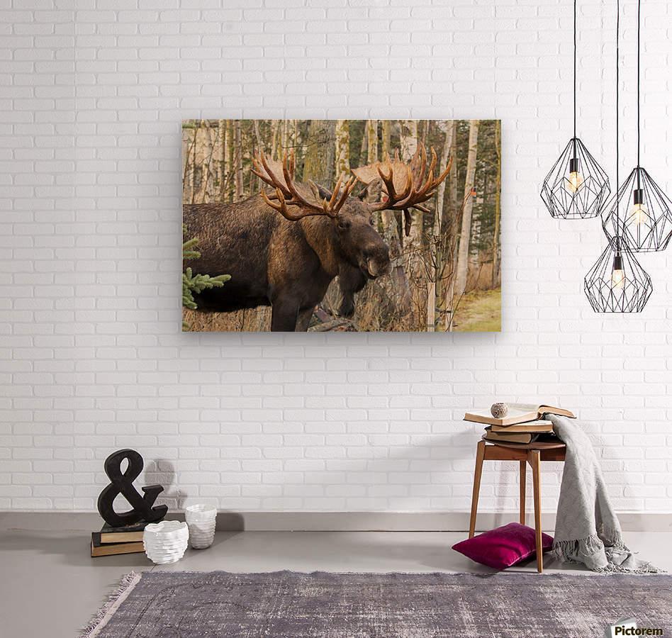 Bull moose (alces alces), rutting season; Alaska, United States of America  Wood print