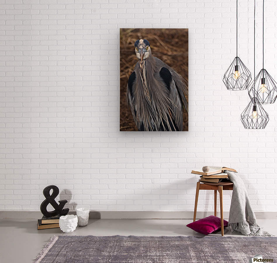 Face on view of great blue heron  Wood print