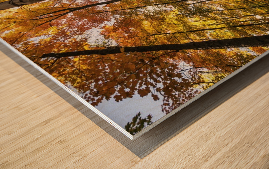 Looking up at the colourful canopy of leaves of Algonquin Park; Ontario, Canada Wood print