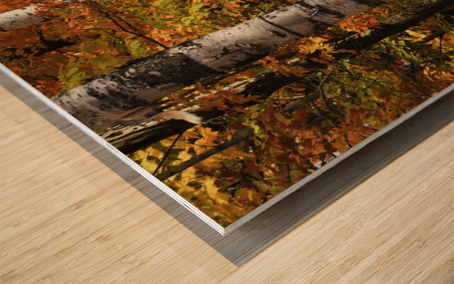 The colourful leaves and birch tree trunks in Algonquin Park; Ontario, Canada Wood print