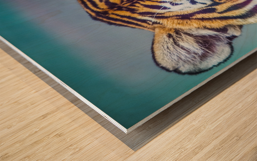 Portrait of Bengal Tiger (panthera tigris tigris) endangered species, captive; Chippewa Falls, Wisconsin, United States of America Wood print