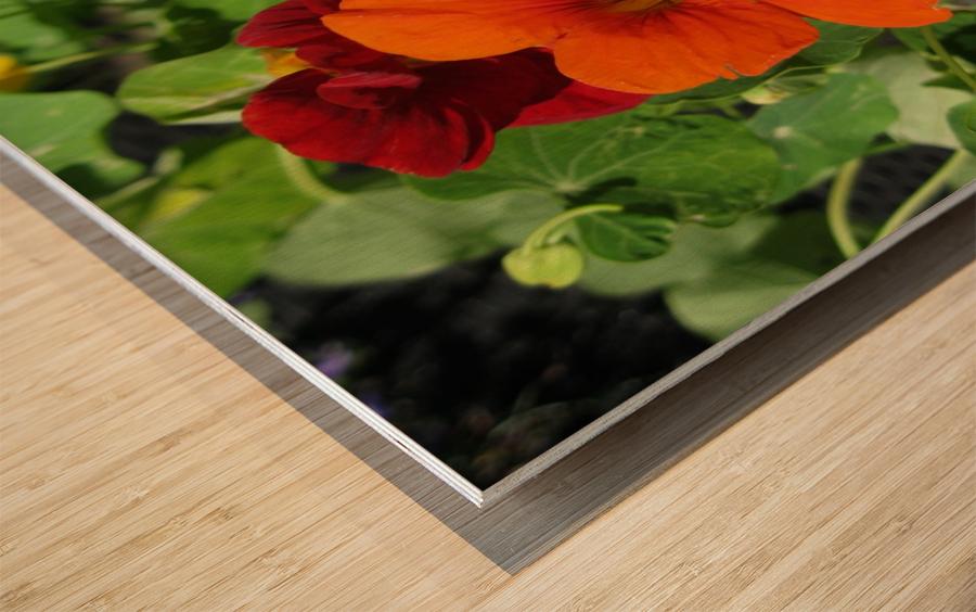 Nodding Nasturtiums Wood print