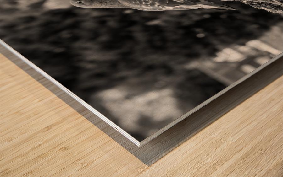 Black and White Pigeon Wood print
