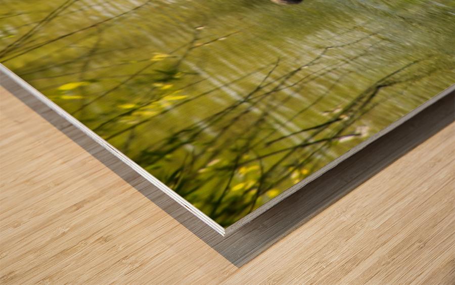 Cygnets Wood print