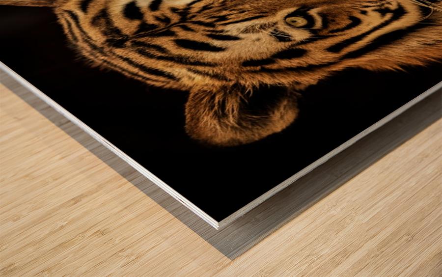 Massive Siberian Amur Tiger  Wood print