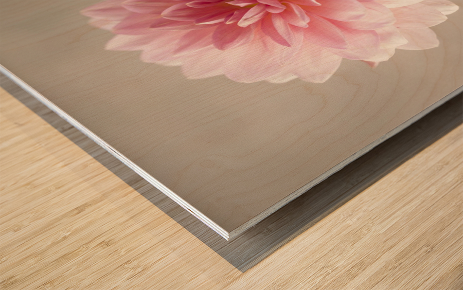 Dahlia flower on colored background Wood print