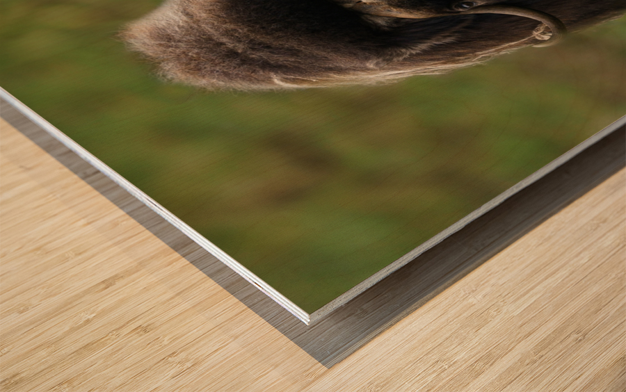 Muskox Wood print