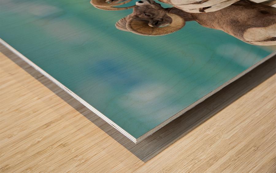Bighorn Sheep Wood print