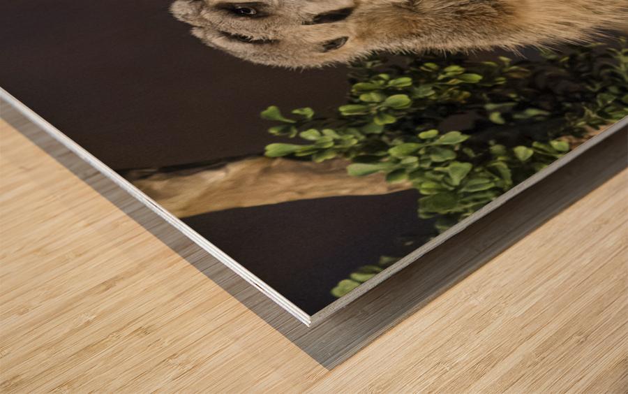 Take Watch  Meerkats  Wood print