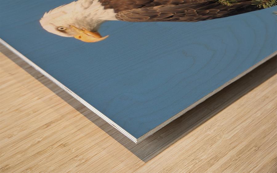 Bald Eagle at Herring Season  Wood print
