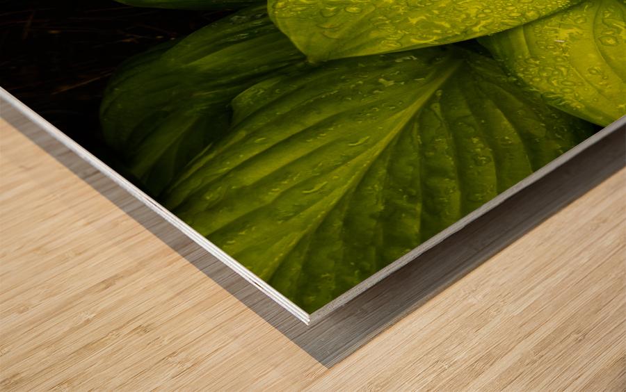Rain Drops and Hosta Leaves Wood print