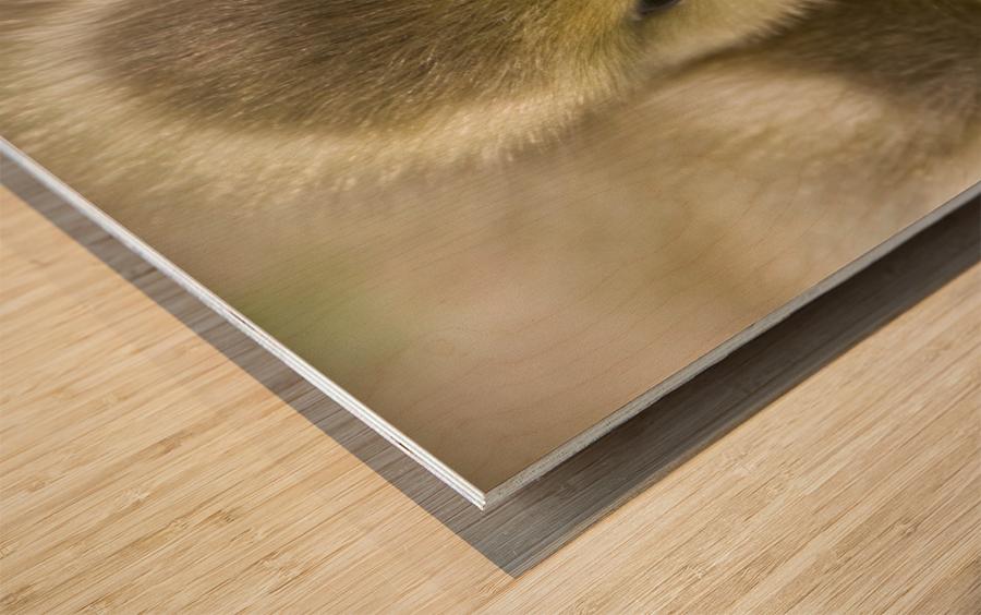 Fuzzy Gosling Wood print