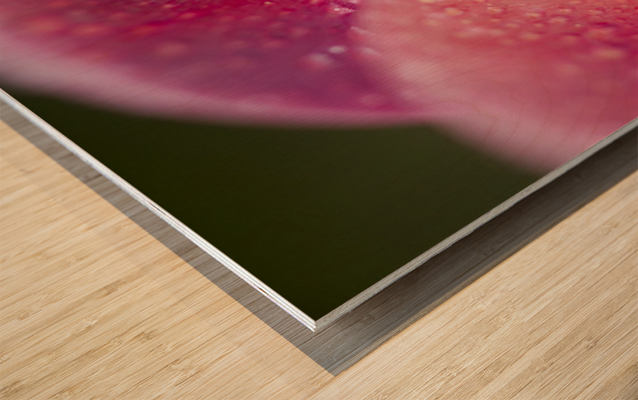 Closeup Of Dew On Tulip Petal Wood print