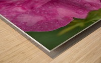 Rosier sarmenteux John Cabot Wood print