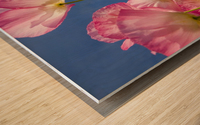 Shirley Poppies (Papaver Rhoeas), Oregon, Usa Wood print