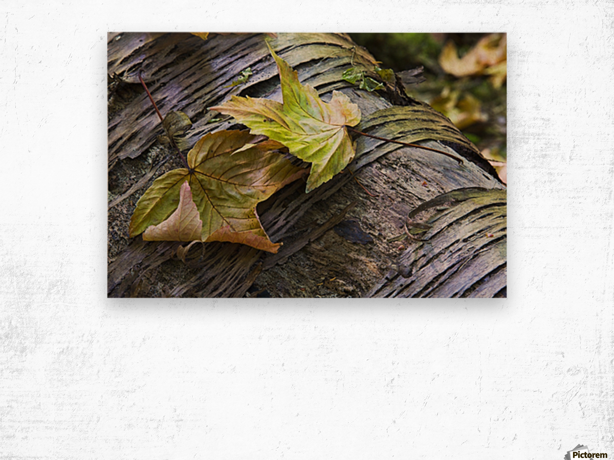 Maple leaves in autumn as they lay across a rotting log in a forest;British columbia canada Wood print