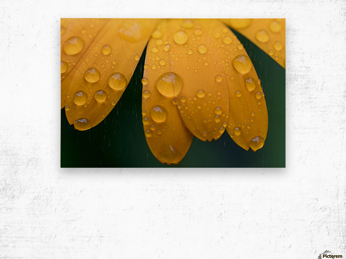 Close up of water droplets on yellow flower petals; South Shields, Tyne and Wear, England Wood print