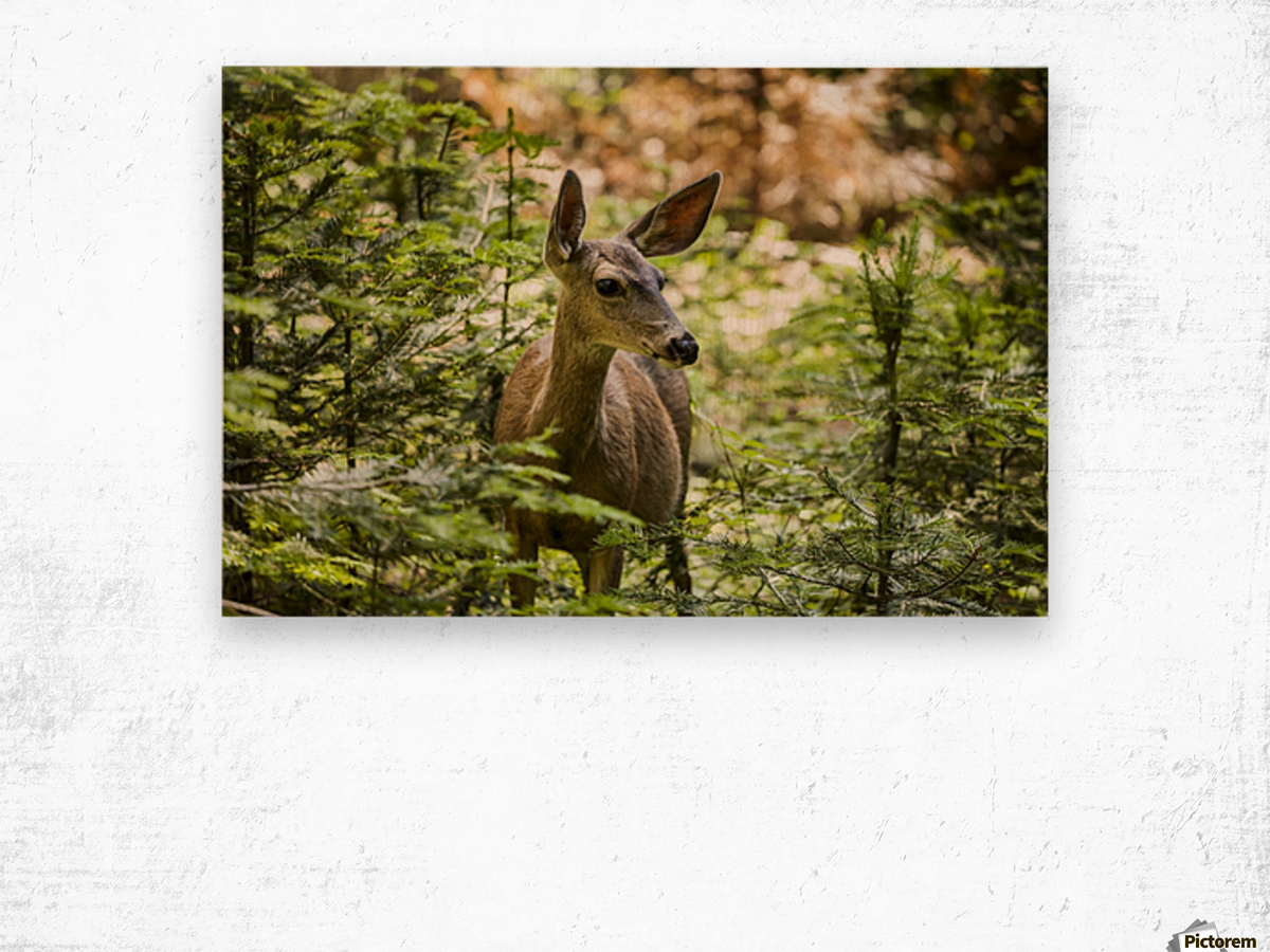 Mule deer (Odocoileus hemionus), Sequoia National Park; California, United States of America Wood print