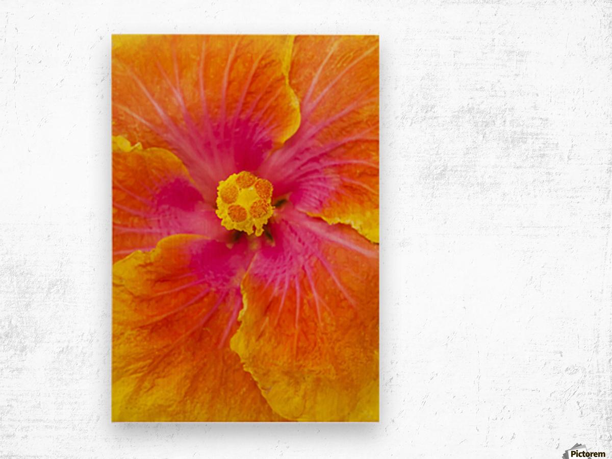 Close-up macro shot of a beautiful orange, pink and yellow Hibiscus flower; Honolulu, Oahu, Hawaii, United States of America Wood print