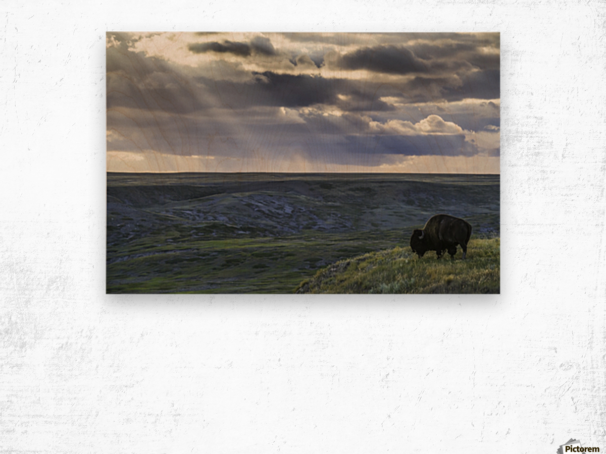 A lone bison (bison bison) grazes on the buttes of Grasslands National Park; Saskatchewan, Canada Wood print