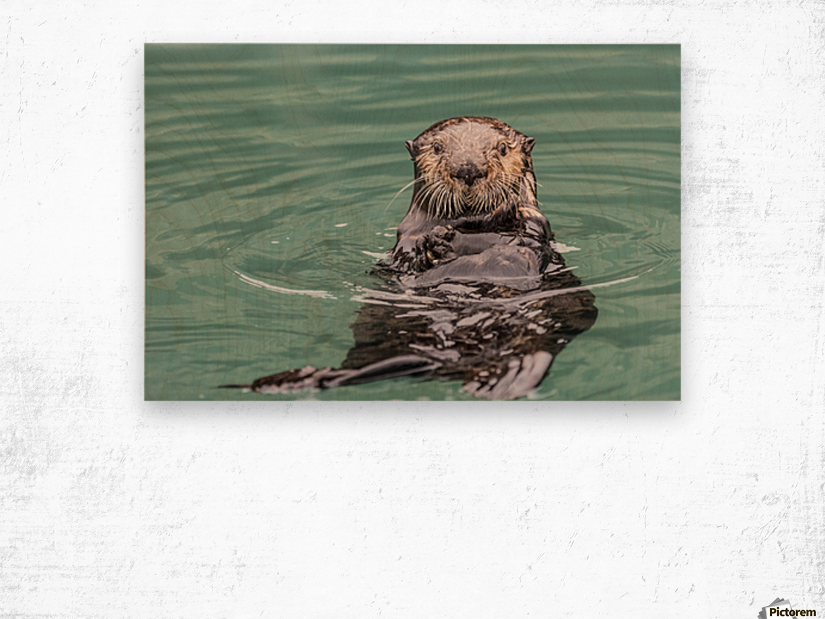 Close-up of a Sea Otter (Enhydra lutris) floating on it's back, looking towards the camera, South-central Alaska; Seward, Alaska, United States of America Wood print