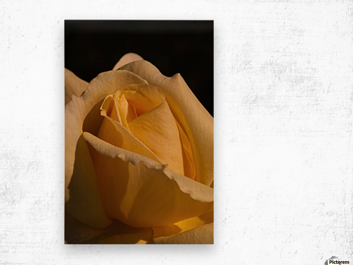 Yellow Rose Close up Single Black Background A010601_1406644 Wood print