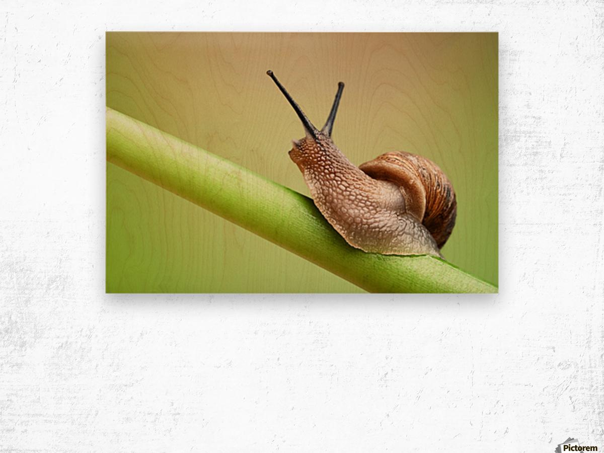 Snail on green stem Wood print