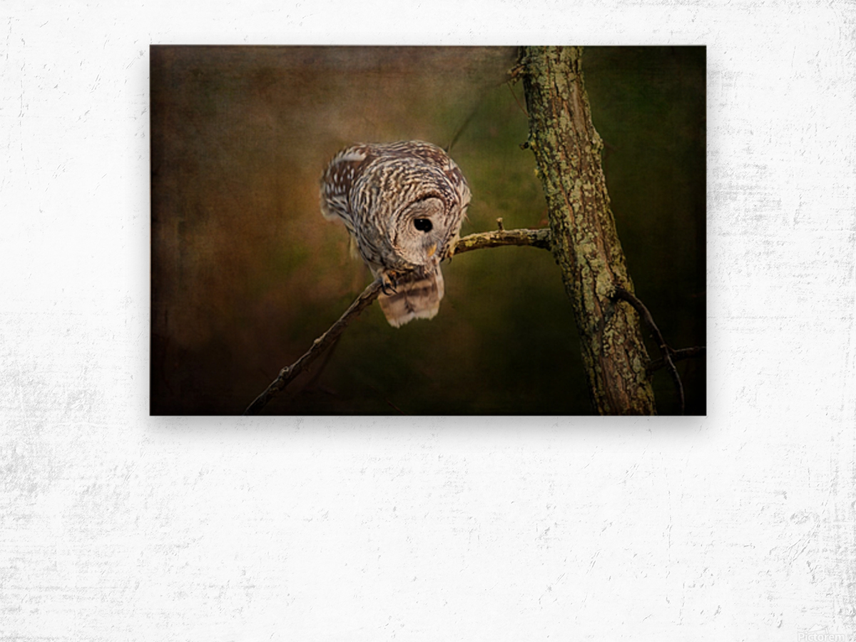 Barred Owl Eyeing Prey. Wood print