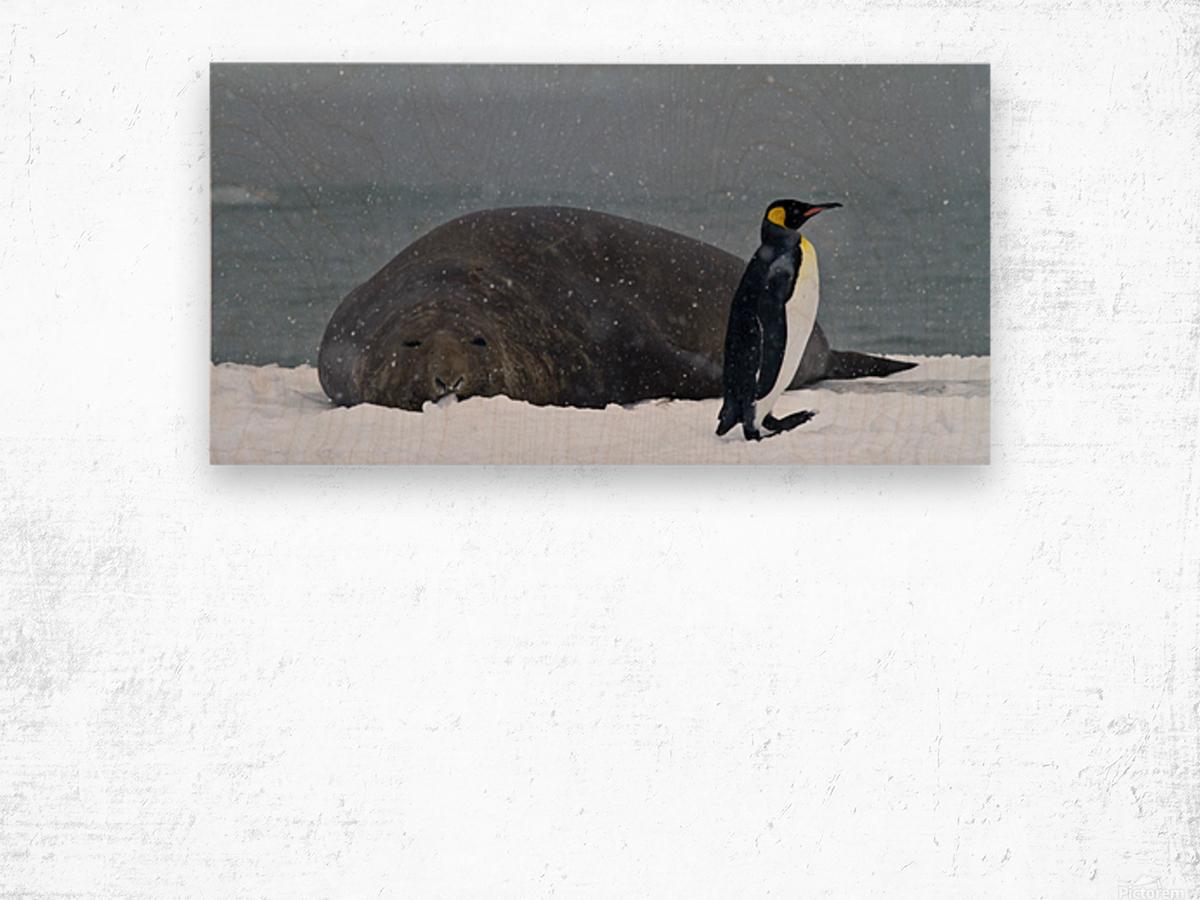 King Penguin walking nest to Elephant Seal Wood print