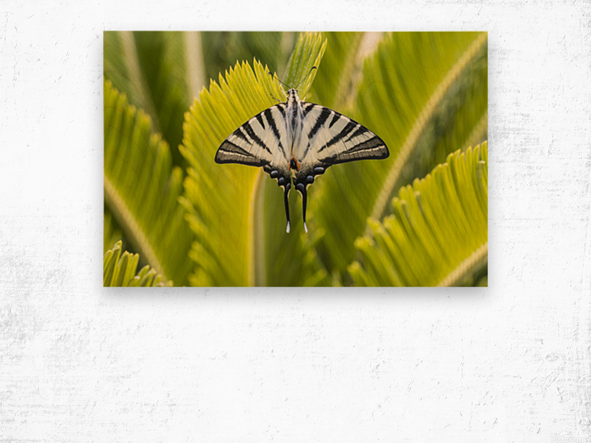 Scarce swallowtail butterfly Wood print