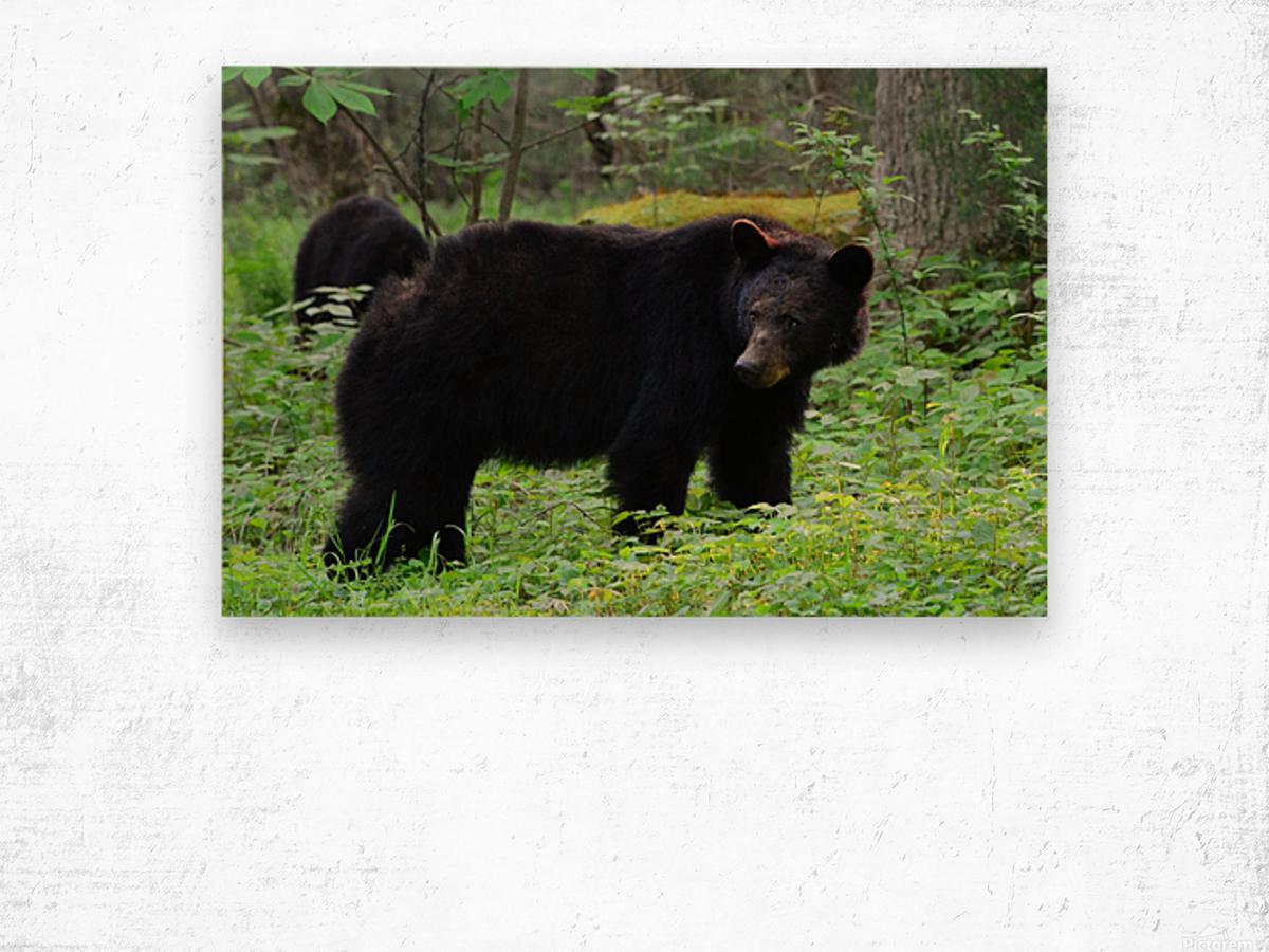 3299-Black Bear Wood print
