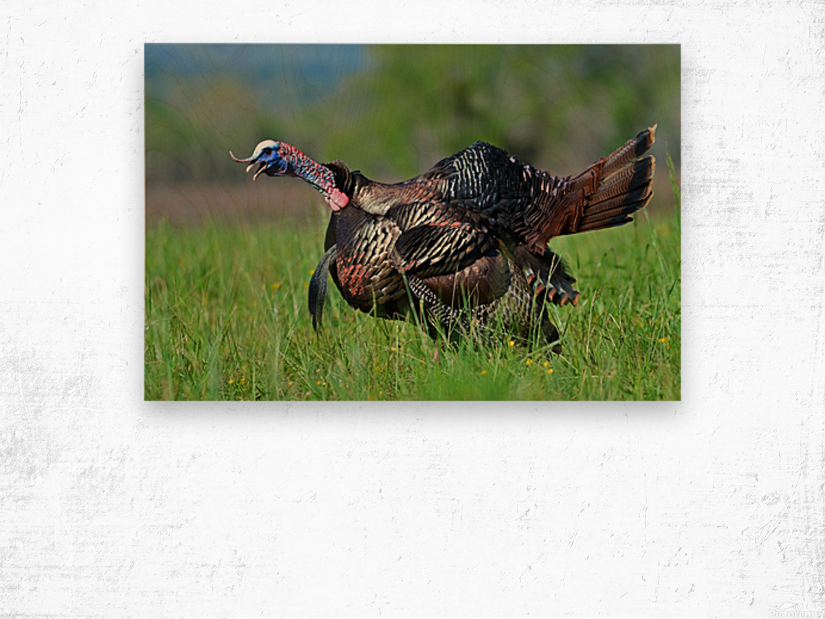 7_Gobbling Turkey Wood print
