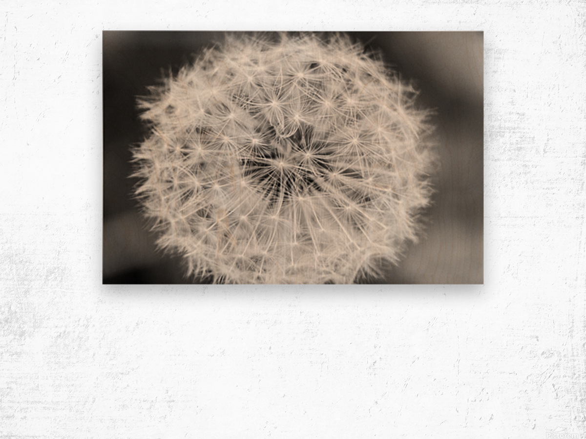 Dandylion black and White Wood print