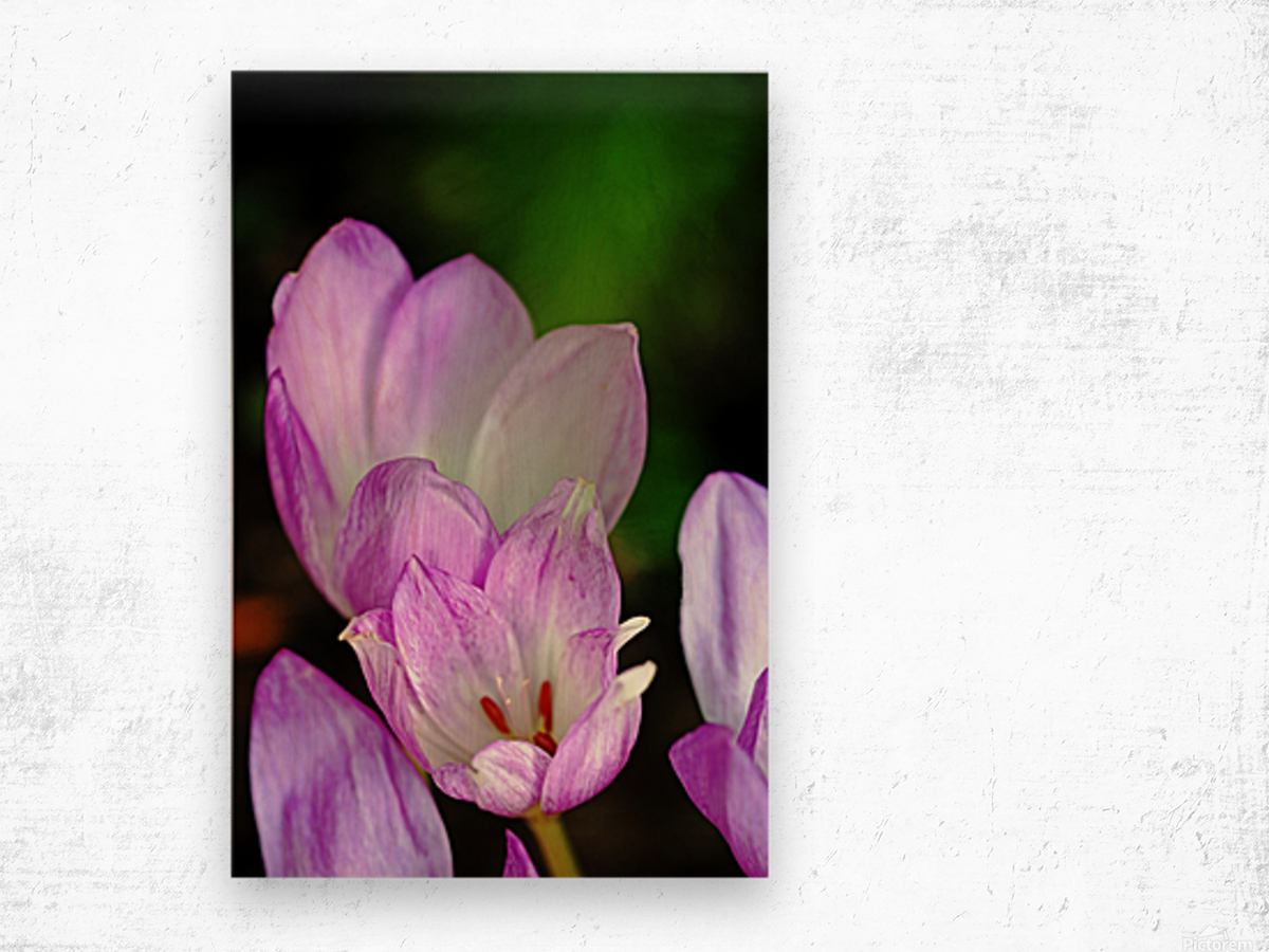 Fall Crocus Wood print