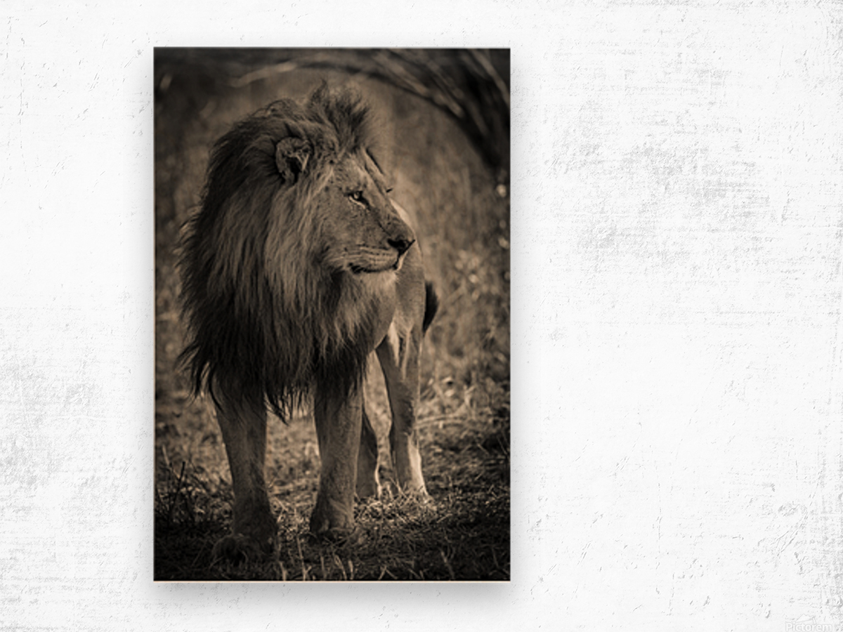 The King of South Africa - 3 Wood print