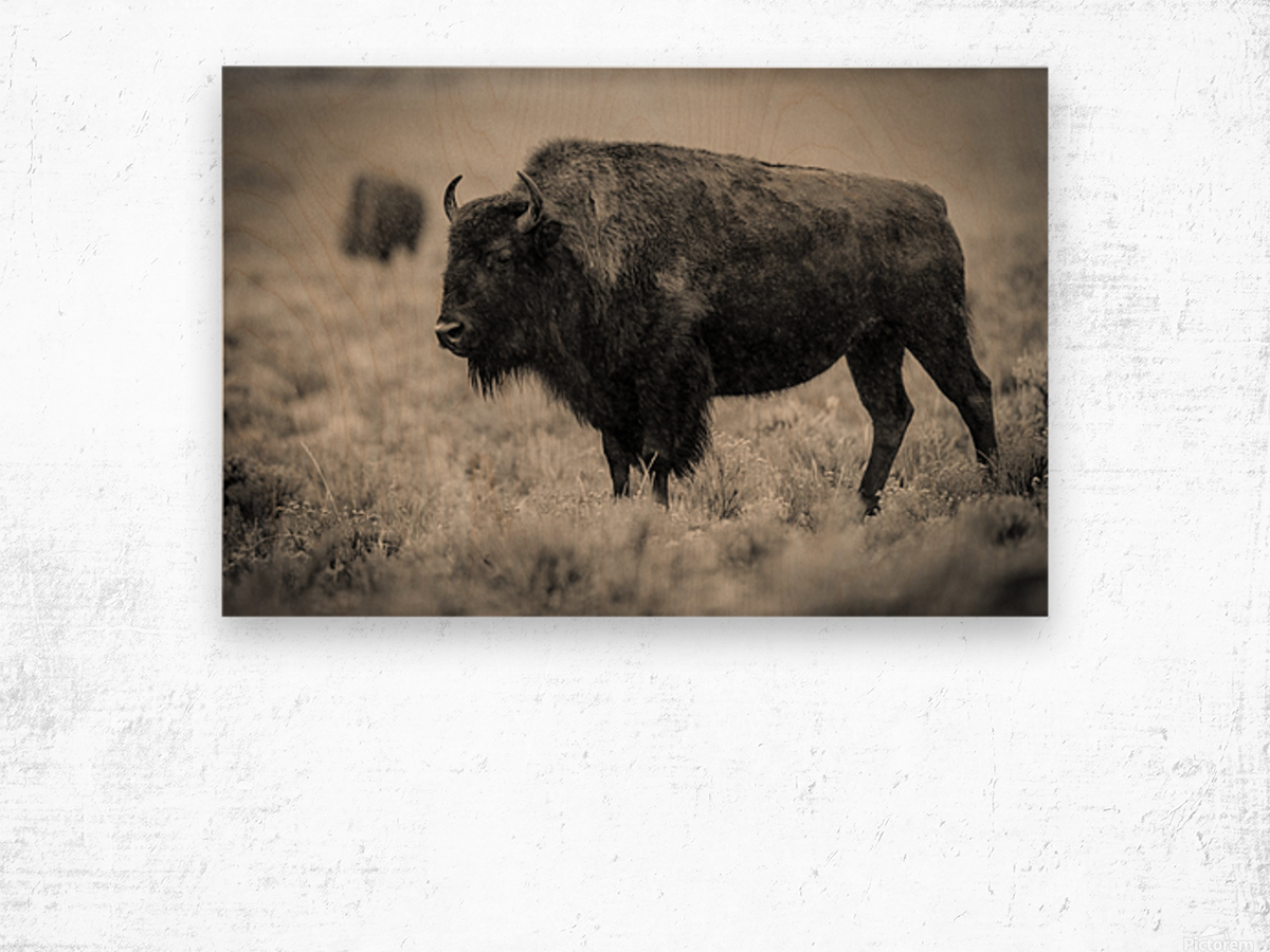 Bison of the Far West Wood print
