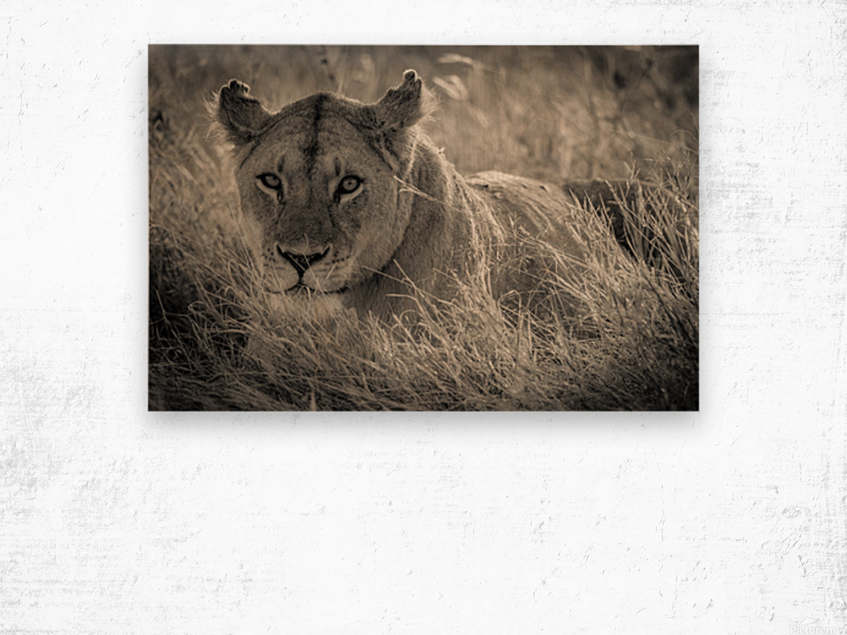 Lioness in the sun Wood print