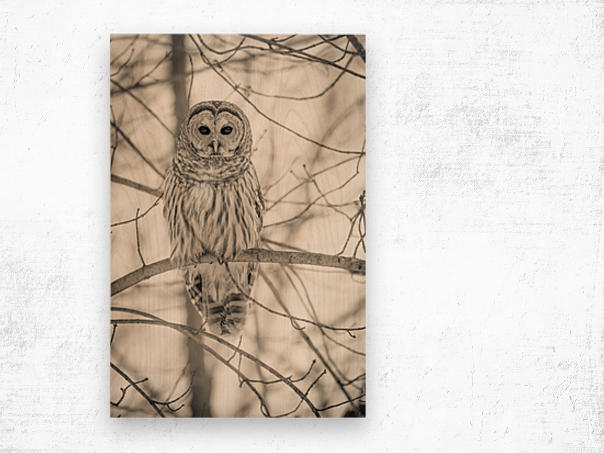 Spotted Owl - 1  Wood print
