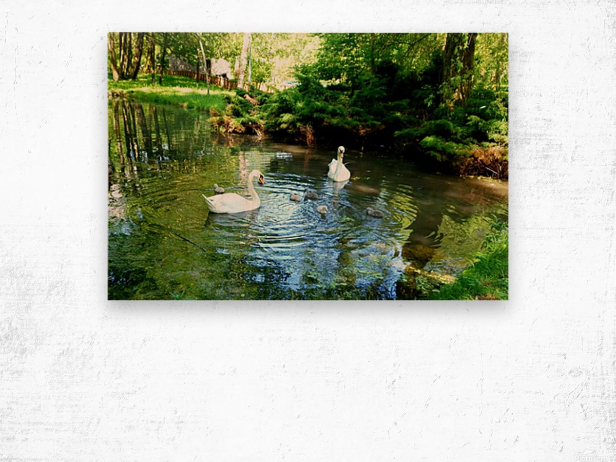 swan 11 Wood print