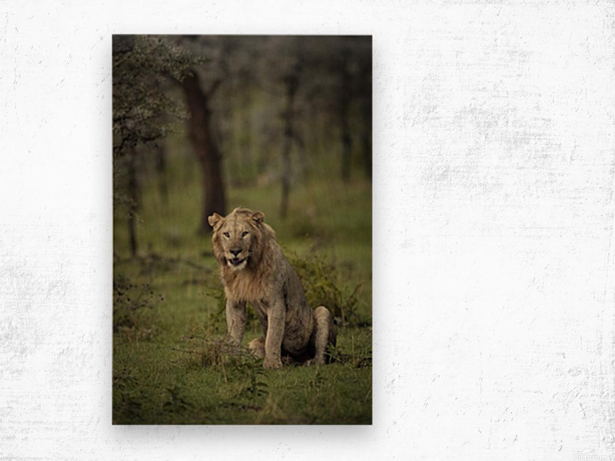 Lion under Rain by www.jadupontphoto.com Wood print