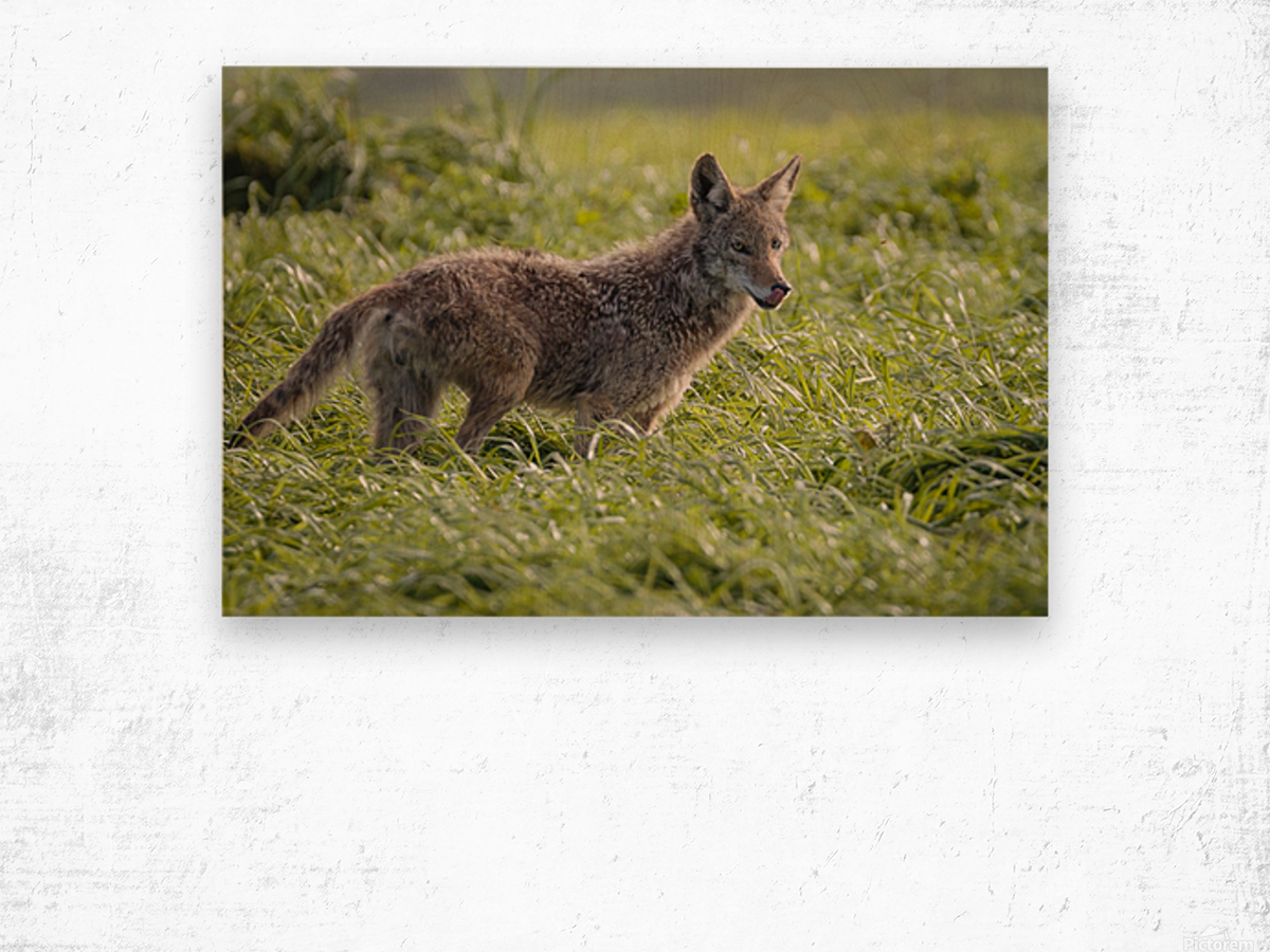Coyote Pretty Wood print