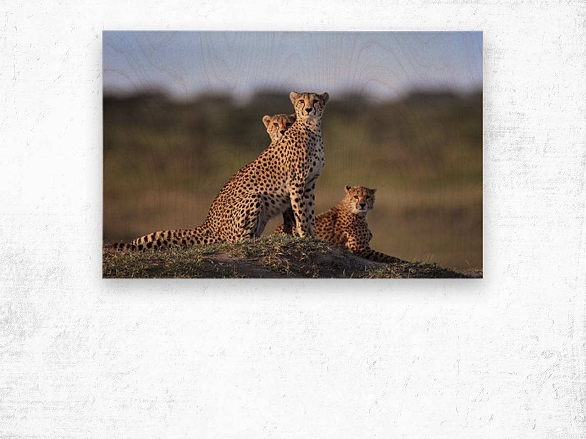 Cheetahs Family Wood print