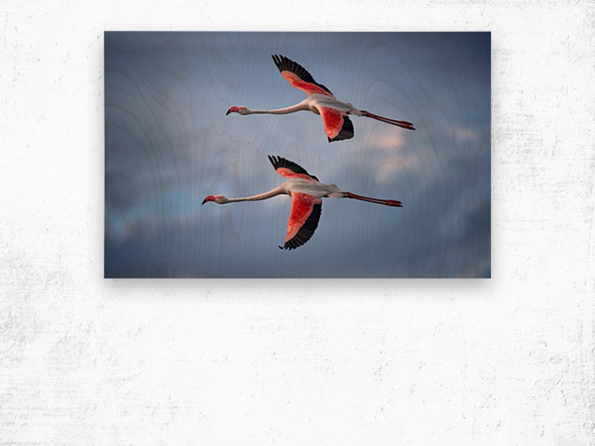 Greater Flamingos Wood print