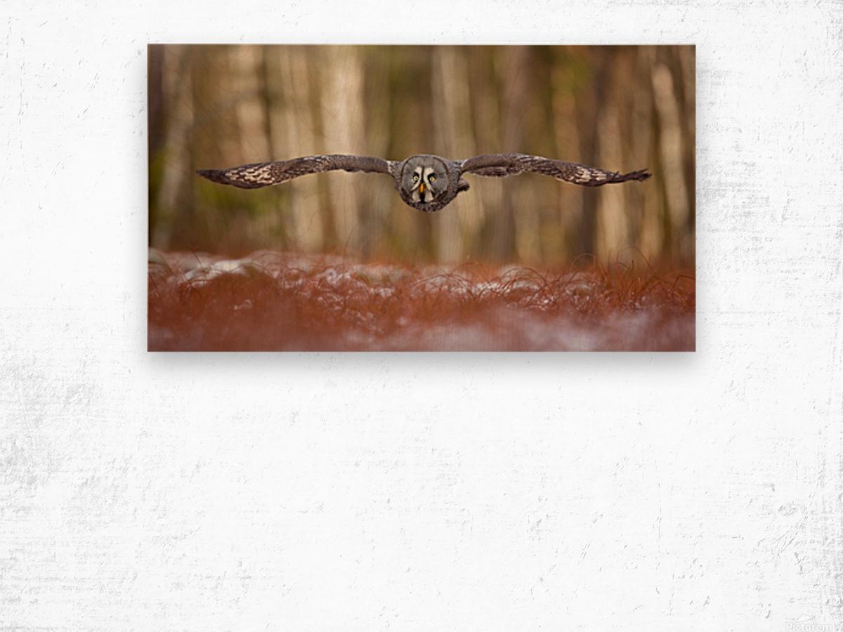 Great grey owl Wood print
