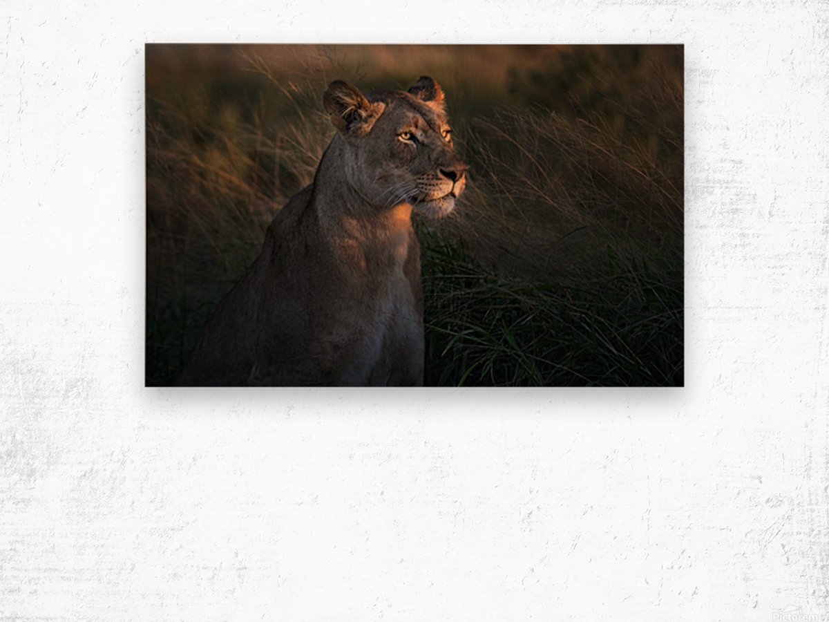Lioness at firt day ligth Wood print