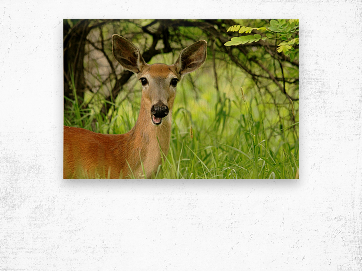 White   Tailed Deer Close Up Wood print