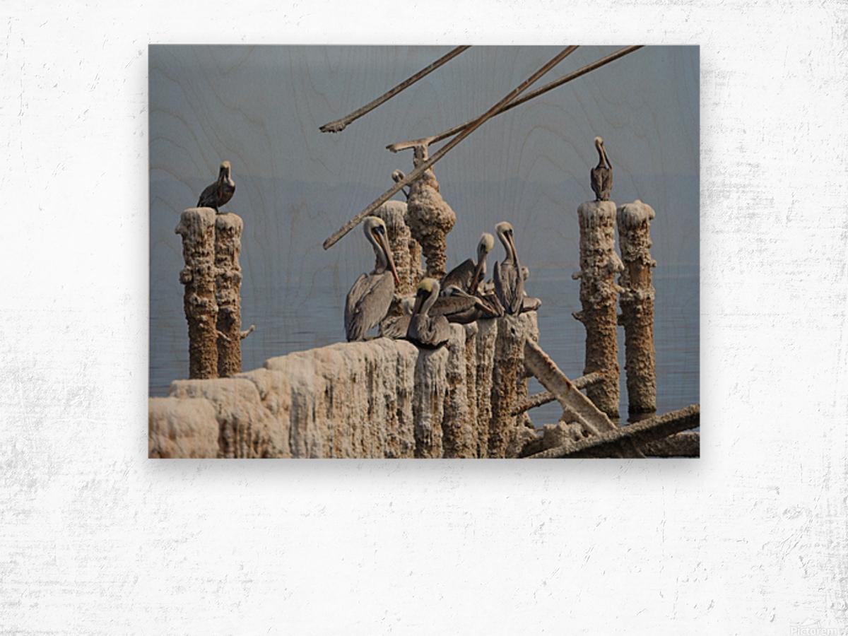 Brown Pelicans Wood print