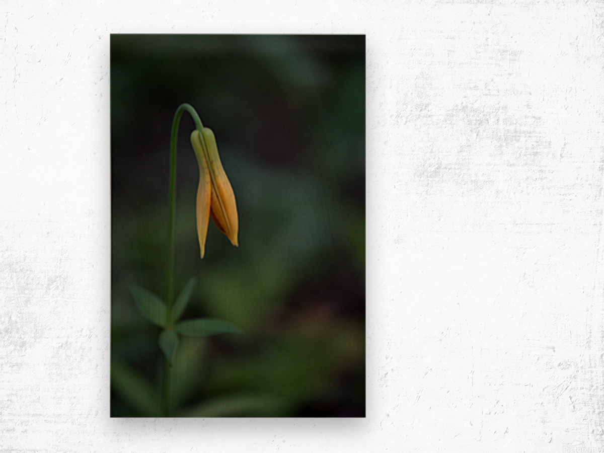 Wild tiger lily Wood print